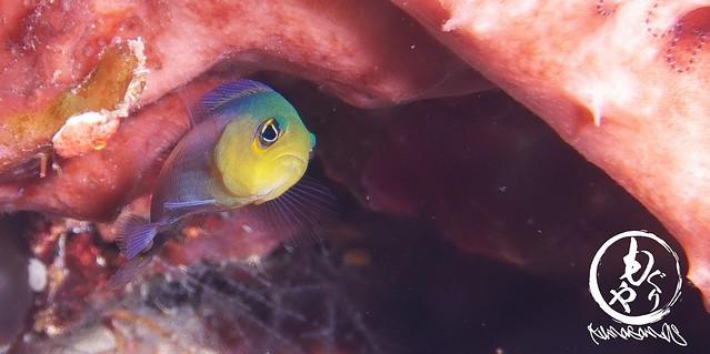 これから石垣で潜る時、もっとクレナイニセスズメを紹介しようw