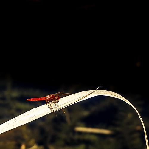 Libellule rouge (Marais du Lavours - 38)
