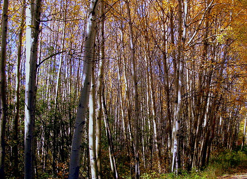 aspens atving autumn autumn2010tulameen color forest glow gold leaves light tree trees tulameen vertile vivid white woods yellow bright treetree bv bc