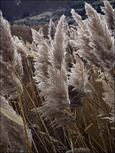 Marsh grass in the Columbia Basin