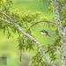 Sacred Kingfisher 69