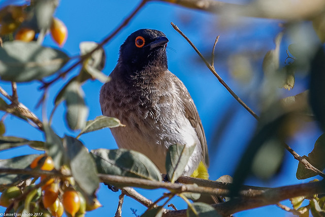 African Red-eyed Bulbul (Pycnonotus nigricans), Etendeka Mountain Camp, Namibia