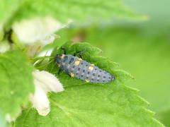 Coccinella septempunctata 7 spot ladybird grub