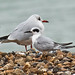 _W4A0999 Forster's Tern