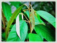 Beautiful leaves of Durio zibethinus(Durian, Common Durian, Civet Fruit, Durian Kampong in Malay), 10 Nov 2017