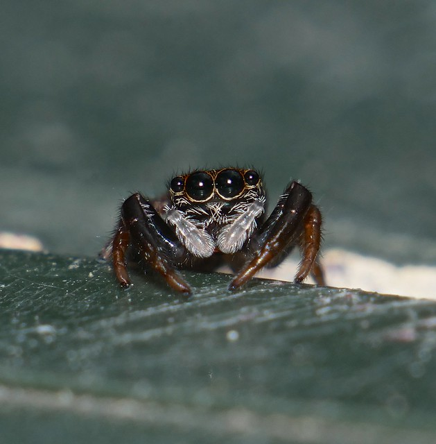 Juvenile SNEAKING SLINKER Salticid Spider Pungalina sp Salticidae Airlie Beach P1080640