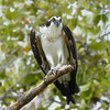 Happy Thanksgiving - Belize: Osprey by spiderhunters