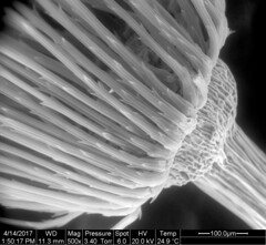 Dandelion pappus fibers and beak joint at 500x