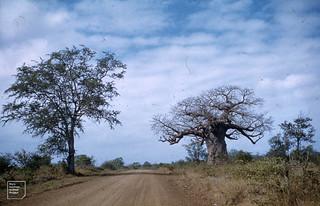 Baobabs.  Kruger Park.  Adansonia digitata