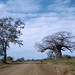 Small photo of Baobabs. Kruger Park. Adansonia digitata