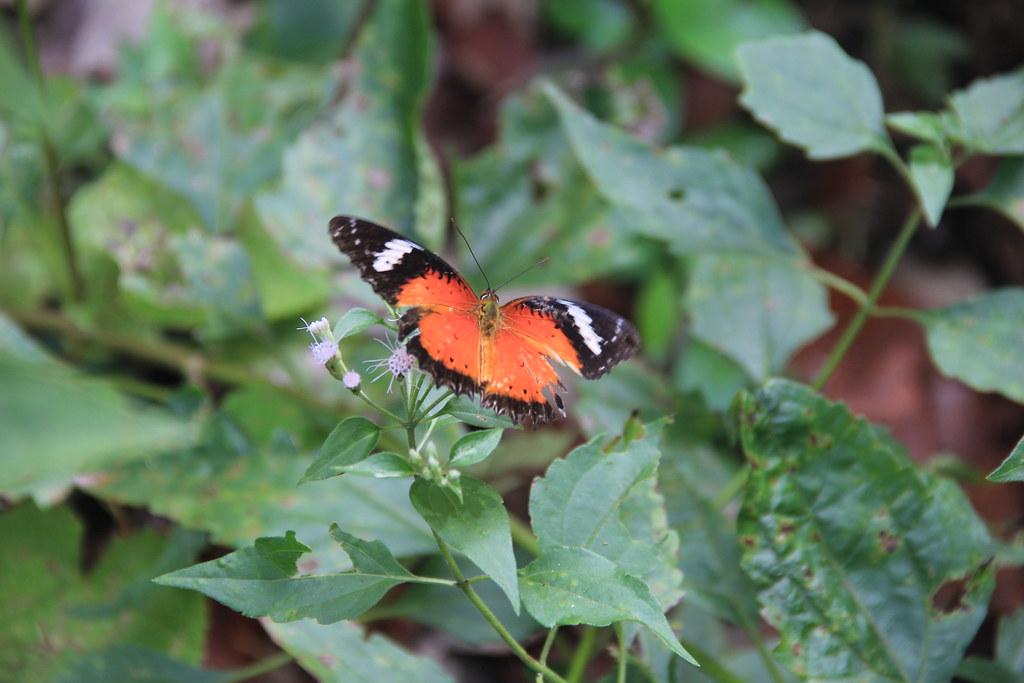 Butterfly, Phang Nga Bay