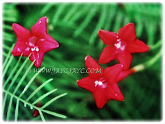 Three beautiful red blossoms of Ipomoea quamoclit (Cypress Vine, Cardinal Creeper/Vine, Star Glory, Hummingbird Vine) 3 Dec 2017