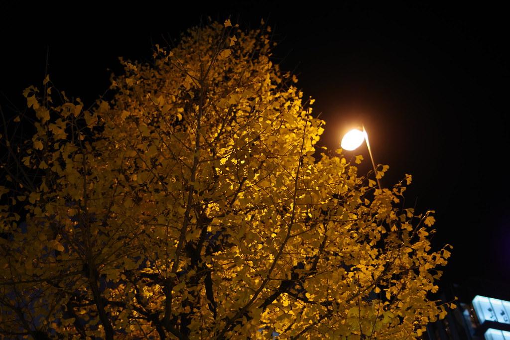 夜の銀杏 Night Ginogo