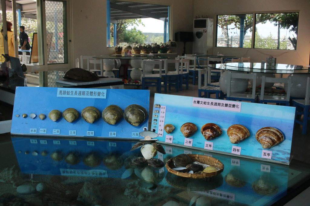 口湖馬蹄蛤 (11)