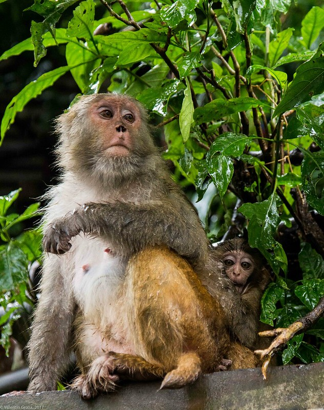 in Kathmandu_05 monkies