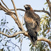 Wedge-tailed Eagle 2017-11-21 (7D_182A6861)
