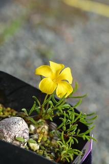 DSC_6913 (1) Oxalis meisneri  オキザリス メイスネリ