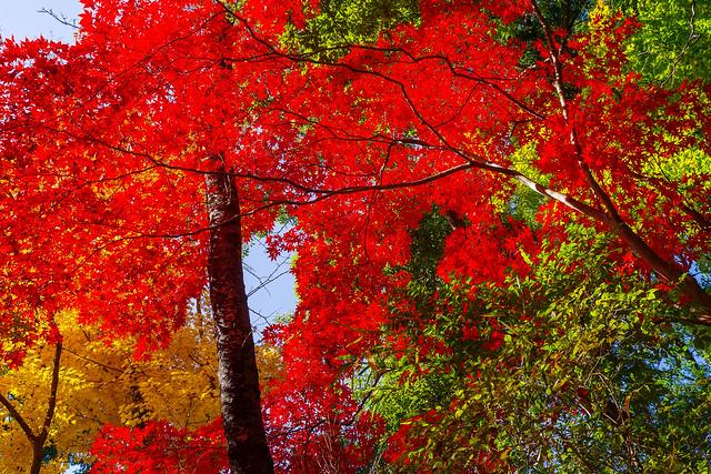 このサイズでは紅が鮮やか過ぎて潰れてしまう@天覧山中段手前