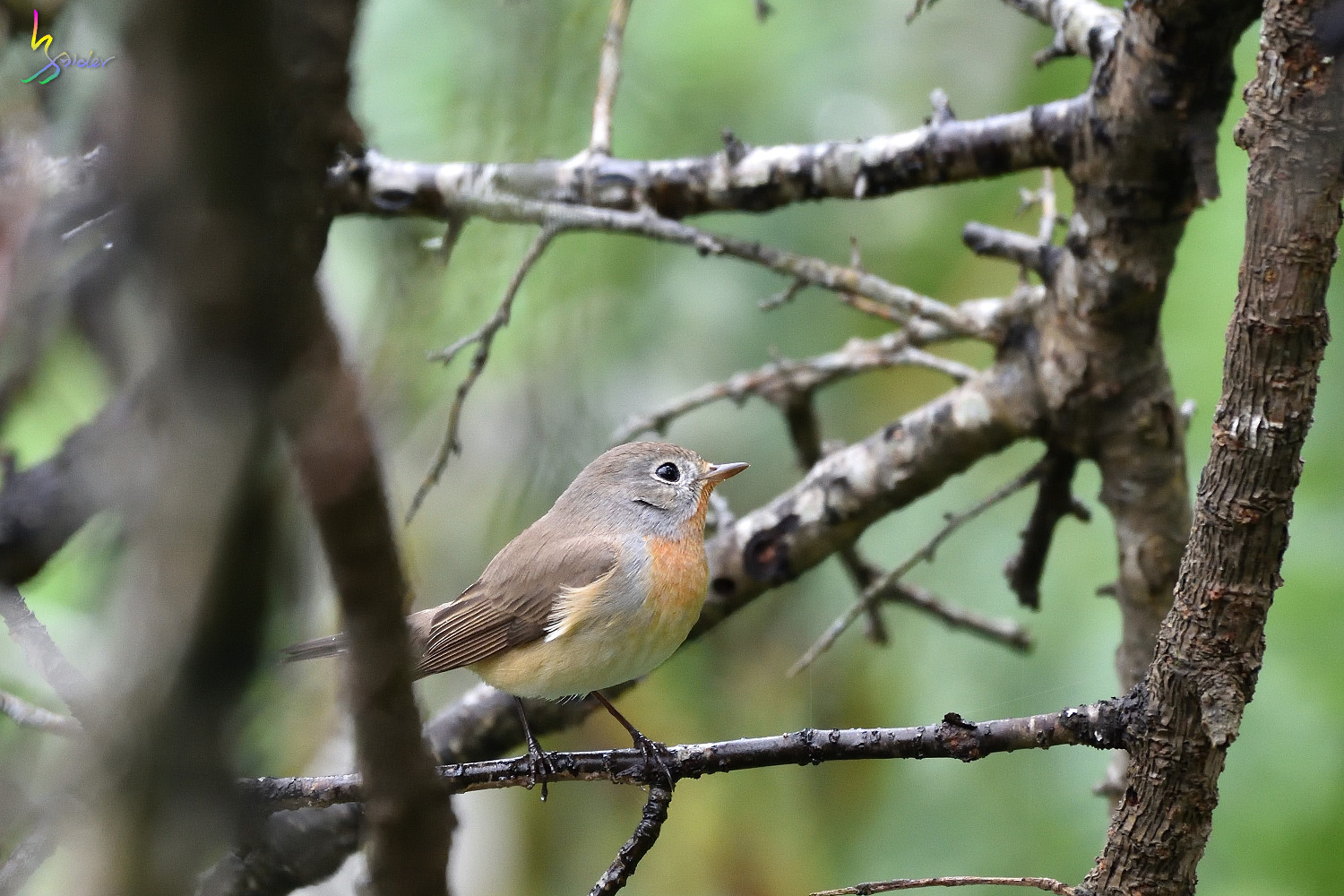 Red-breasted_Flycatcher_9550