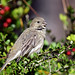 Ladies First~ Female House Finch (Haemorhous mexicanus) by Brody J