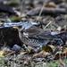 Fieldfare Leighton Moss RSPB F00036  D210bob DSC_8823