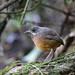 Moustached Antpitta - Paz de las Aves - Ecuador