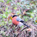 Pyrrhula pyrrhula Bullfinch