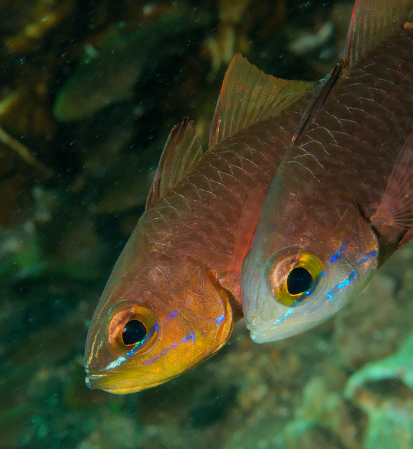Cardinal Fish Reproduction