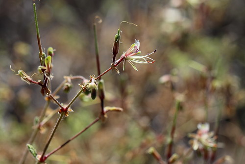 Pelargonium tragacanthoides in wild