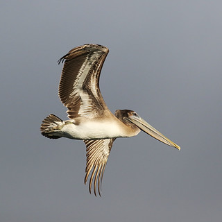 Brown pelican, Pelecanus occidentalis, California, USA