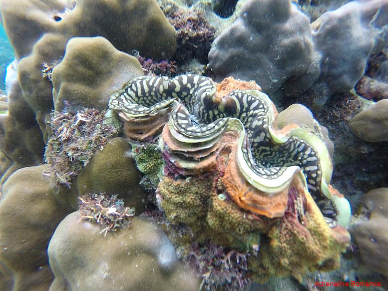 Giant clam in Pajo Marine Sanctuary