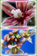 Star-shaped unisexual flowers of Manihot esculenta (Tapioca, Cassava, Brazilian Arrowroot, Yuca, Ubi Kayu in Malay), 17 Nov 2017