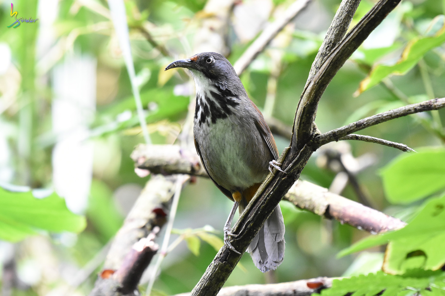 Rusty-cheeked_Scimitar-Babbler_0662