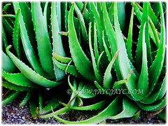 Short-stemmed plant of Aloe vera (Chinese/Indian Aloe, True Aloe, Barbados Aloe, Burn/Medicinal Aloe, First Aid Plant) that typically grows up to 0.3-0.6 m tall, 2 Nov 2017