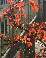 on the way to the market❤︎ ・ ・ ・ #秋 #紅葉 #箕面 #大阪 #桜の木 #autumn #fallfoliage #minoo #osaka #latergram #cherrytree #nofilter