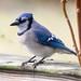 blue jay by eva8*