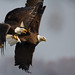 Bald Eagle Hand to Hand Combat by Brian E Kushner