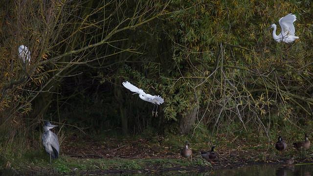 Heron & Egret - in a tree_4