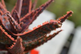 DSC_7024 Aloe cv. DZ  (Debra Zimmerman)
