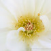 White Rose with Yellow & Red, 10.4.17