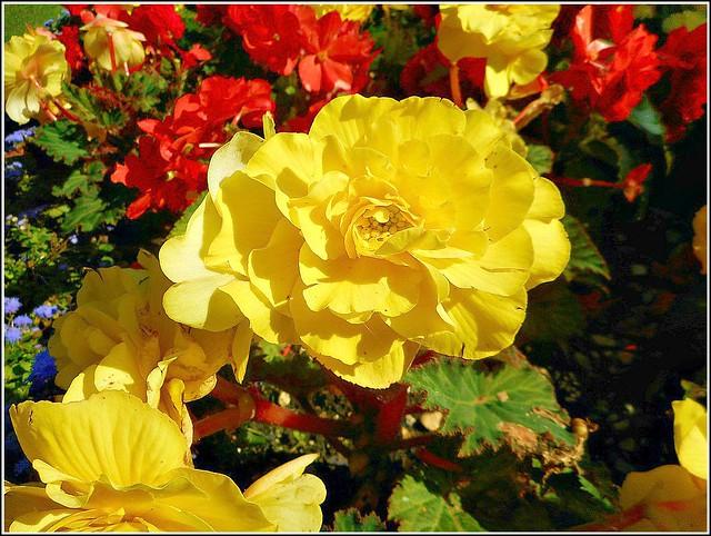 Beautiful Begonias ..