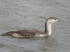 Red-throated Loon, Edwin B. Forsythe NWR, Atlantic Co. NJ, 10- 24-2017