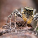 Dimorphic Jumping Spider - Photo (c) Tibor Nagy, some rights reserved (CC BY-NC-ND)