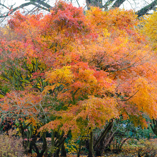 Before the leaves fell: Japanese acer, West Park