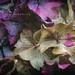 Hydrangea, Holding On