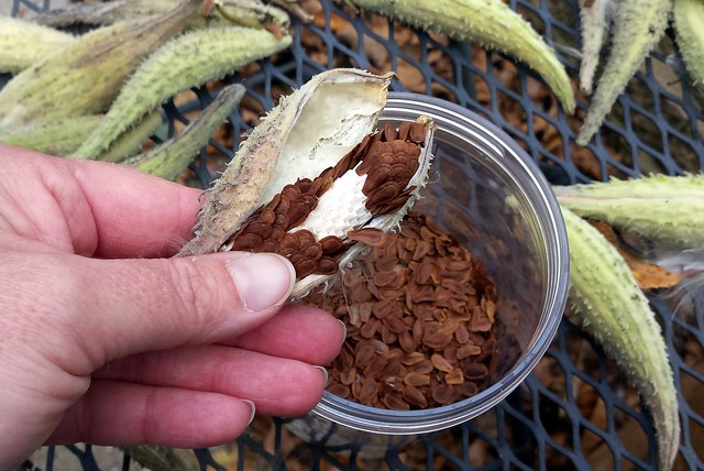the same pod with a section of seeds removed to show white beneath