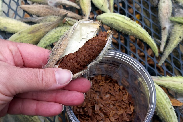 a thumb pressing down on the end of a seed pod, above a container with seeds