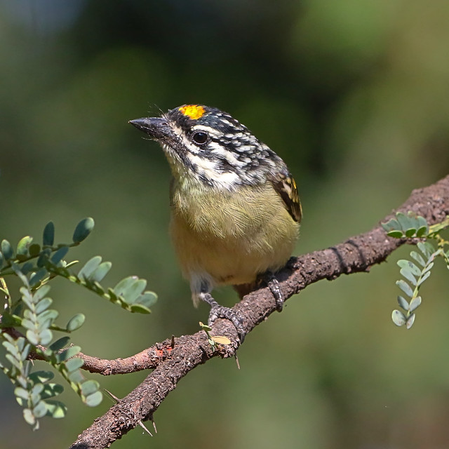 Header of Acacia Pied Barbet