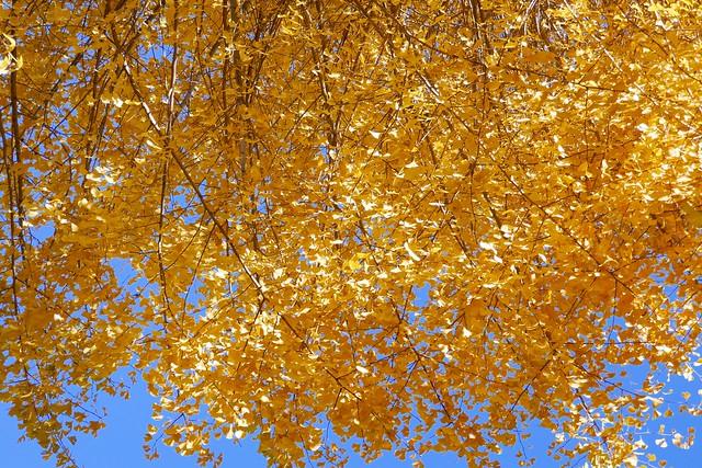 Omiya_Ginkgo_(2017_12_06)_1_resized_1 紅葉したイチョウの枝葉の写真。 黄色に染まっている。
