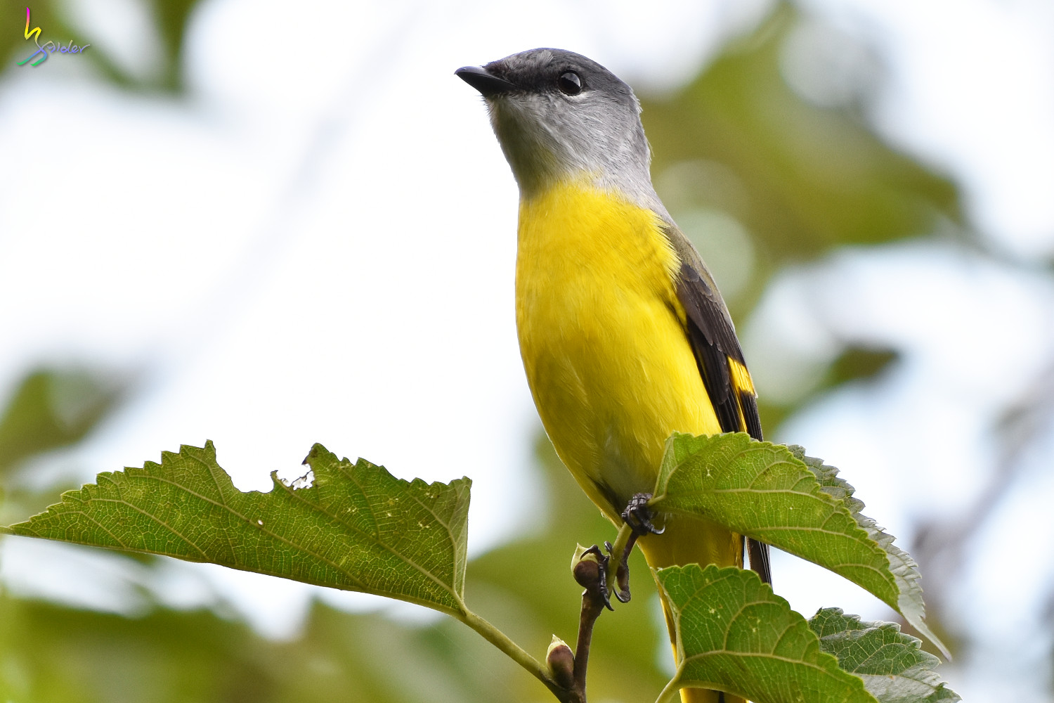 Grey-chinned_Minivet_9644